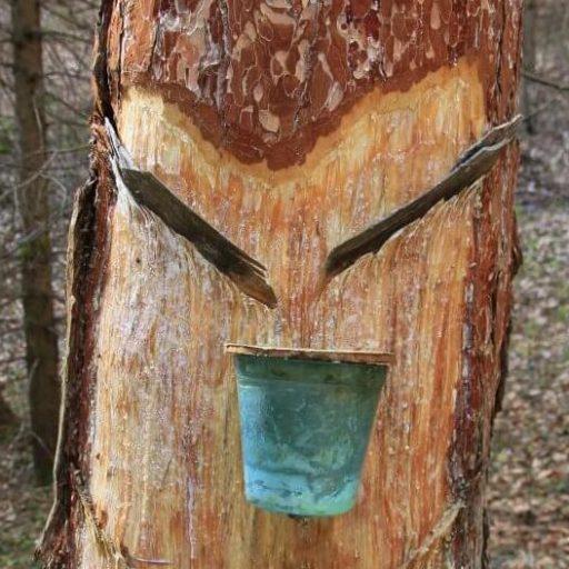 Ein Baum aus welchem gerade Harz gewonnen wird.