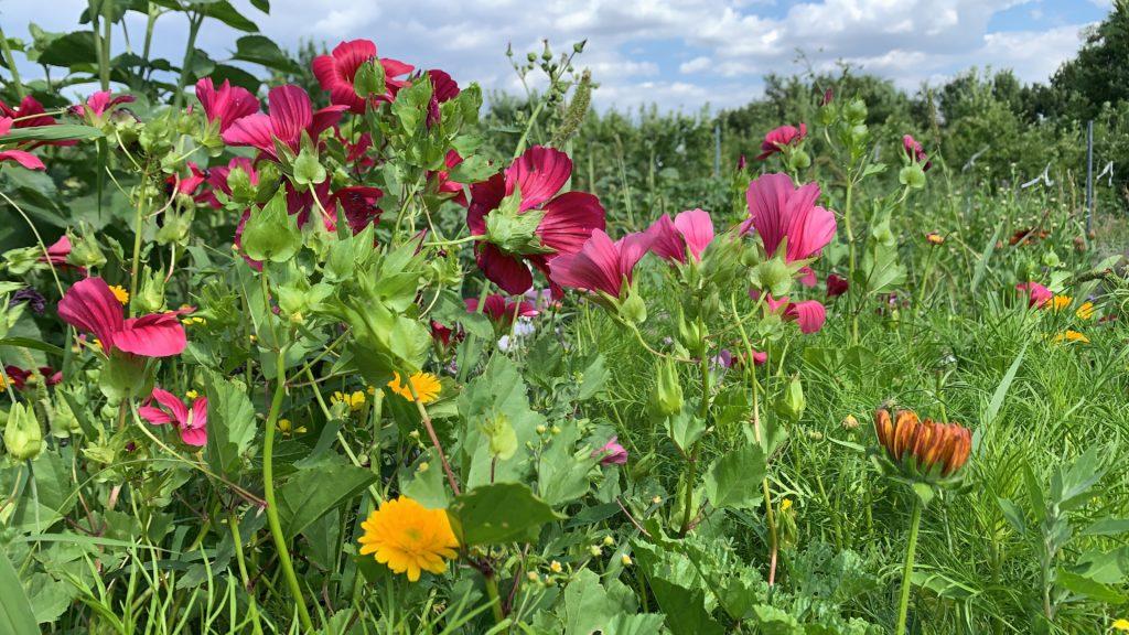 Auf dem Foto sieht man Blumen am Feld von Blumenbund in verschiedenen Farben.
